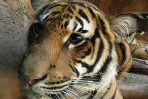 Nhu cầu sầu riêng từ Trung Quốc đe dọa loài hổ hiếm ở Malaysia