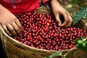 Giá nông sản hôm nay 24/10: Giá cà phê giảm 3 ngày liên tiếp, giá tiêu tăng nhẹ 1.000 đồng/kg
