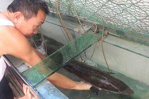Ngư dân Nghệ An bắt được cá chình 'khủng' hiếm gặp