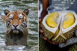 Hổ hiếm ở Malaysia bị đe dọa bởi nhu cầu sầu riêng của người Trung Quốc