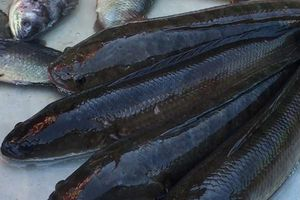 Cá lóc - Thức ăn dưỡng sinh trong mùa nóng