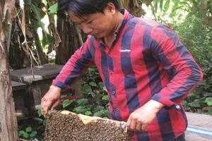 Thu nhập tốt từ nghề nuôi ong lấy mật