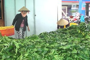 Thi nhau tuốt sạch lá nhàu bán giá 4.000 đồng/kg