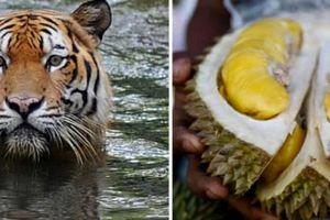 Hổ quý Malaysia lâm nguy vì sở thích của dân Trung Quốc