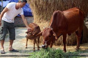 Bò ngoại về Việt Nam: Ngành chăn nuôi nội địa phải giảm giá thành