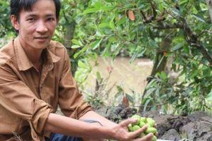 Kiếm hơn 200 triệu mỗi năm từ...3 cây cà na Thái ra trái bé tí
