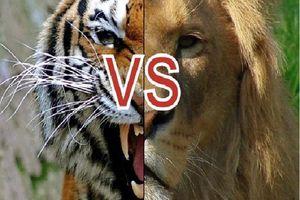 Giải mã kịch bản cuộc chiến giữa sư tử và hổ