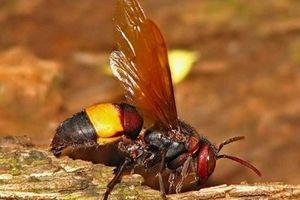Bị ong rừng tấn công, 1 người chết, 10 người phải nhập viện