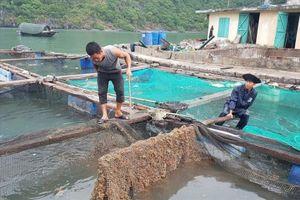 Cát Bà, Hải Phòng: Hàng chục tấn cá lồng chết trắng mặt nước