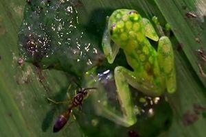 'Ếch ninja' tung cước đá bay ong bắp cày để bảo vệ trứng