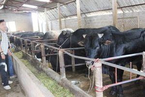 Triển vọng từ mô hình liên kết chăn nuôi bò thịt