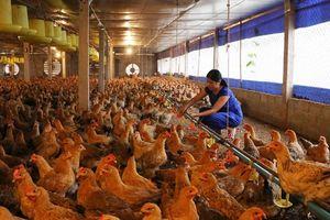 Hảo 'gà giống' thành công nhờ áp dụng thành thục kỹ thuật thụ tinh nhân tạo