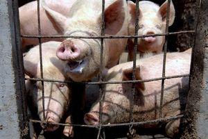 Đến lượt Mỹ chật vật đối phó dịch tả lợn châu Phi