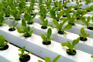 'Cơn sốt' trồng rau không cần đất ở nơi phố biển Nha Trang