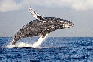 Ô nhiễm tiếng ồn làm tắt 'tiếng hát đại dương'