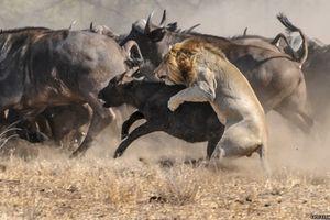 Trâu rừng 'điên tiết' hợp lực đuổi sư tử để cứu con