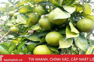 Gần 70 ha cam, bưởi ở Hương Khê sản xuất theo tiêu chuẩn VietGAP