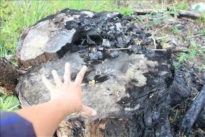 Xử lý vụ khai thác rừng trái phép và cướp tang vật giữa rừng phòng hộ Sêrêpốk
