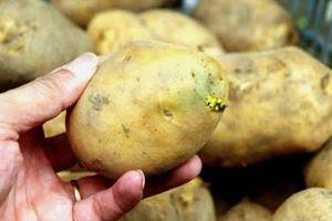 Cảnh báo nguy cơ ngộ độc khi ăn khoai tây mọc mầm
