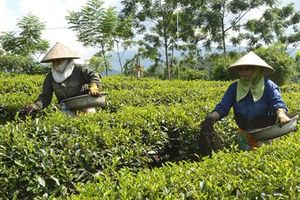 Liên kết trong SX chè ở Tuyên Quang: Giảm chi phí, tăng năng suất