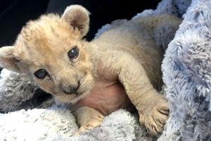 Phát hiện sư tử con chưa cai sữa trong gara ôtô tại Pháp