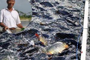 Giữa đất Hà thành: 'Đào' sông trong ao nuôi cá dày đặc kiểu Mỹ