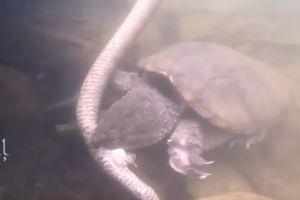 Clip: Bất ngờ rùa tấn công, ăn thịt rắn một cách tàn bạo