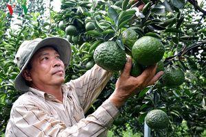 Hiệu quả từ mô hình trồng cam sành trên đất phèn