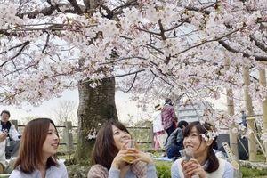 Hoa anh đào bất ngờ nở sớm trên đất Nhật