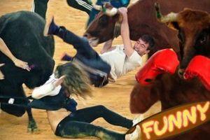 Những tình huống hài hước trong các trận đấu bò tại Tây Ban Nha