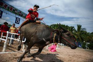 Nông dân Thái Lan giữ nghiệp đua trâu truyền thống