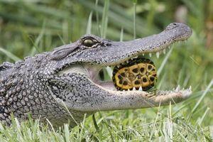 Hãi hùng cảnh cá sấu nghiền nát rùa trong cơn đói