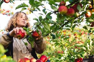 Lao động thời vụ ở Úc bị ăn chặn tiền lương nghiêm trọng