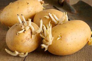 Khoai tây mọc mầm chứa chất độc 'giết người trong chớp mắt'