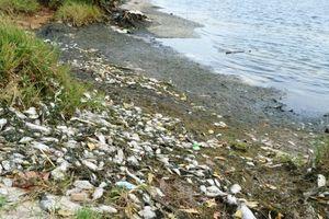 Quảng Nam: Cá nuôi trong ao hồ dọc sông Trường Giang chết hàng loạt