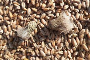 Chuẩn 4 bước kiểm dịch thực vật đối với lúa mì nhiễm cỏ kế đồng