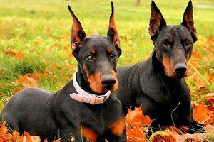 Điểm các giống chó hung hãn, nguy hiểm nhất thế giới