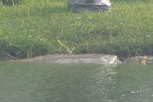 Kiến nghị di chuyển rùa Hoàn Kiếm đến nơi an toàn hơn