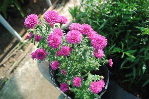 Giống hoa thạch thảo đỏ 'cháy hàng' khi lần đầu tiên xuất hiện ở Sa Đéc