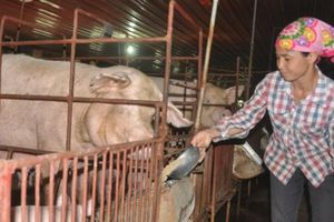 Giá heo hơi hôm nay 31/10: Giá lợn hơi miền Nam hấp dẫn nhất cả nước