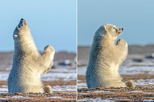 Ảnh sốc: Gấu Bắc Cực chắp tay xin ông trời?