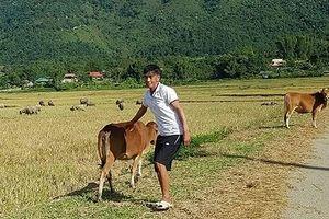 Điện Biên: Có hay không việc trâu thành nghé, bò hóa bê?