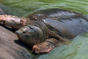 Di chuyển rùa Hoàn Kiếm đến nơi an toàn