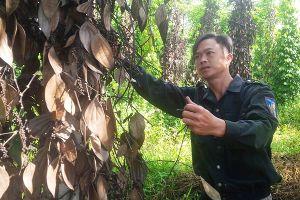 Kon Tum: Hàng loạt trụ 'vàng đen' chết đứng, nông dân 'tiền mất, nợ mang'