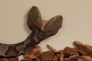 Phát hiện rắn hai đầu cực hiếm ở Mỹ