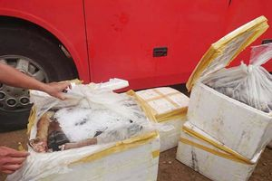 Nghệ An: Bắt giữ hơn 5 tạ chân trâu, bò không rõ nguồn gốc