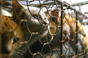 Ăn thịt mèo không rõ nguồn gốc: Có thể bị điên dại?