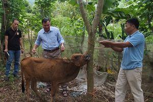 Hỗ trợ bò cho hộ nghèo ở Sơn La: Giá cao vì phải 'cõng' bảo hành?