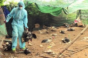 Xuất hiện ổ dịch cúm gia cầm H5N6 có độc tính cực mạnh tại Phú Yên