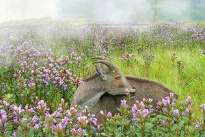 Thung lũng ngập màu tím biếc của sắc hoa 12 năm nở một lần
